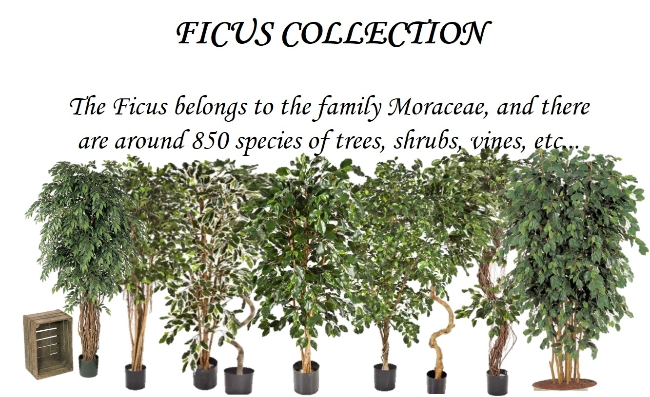 The Ficus belongs to the family Moraceae, and there are about 850 types of trees, bushes and vines.